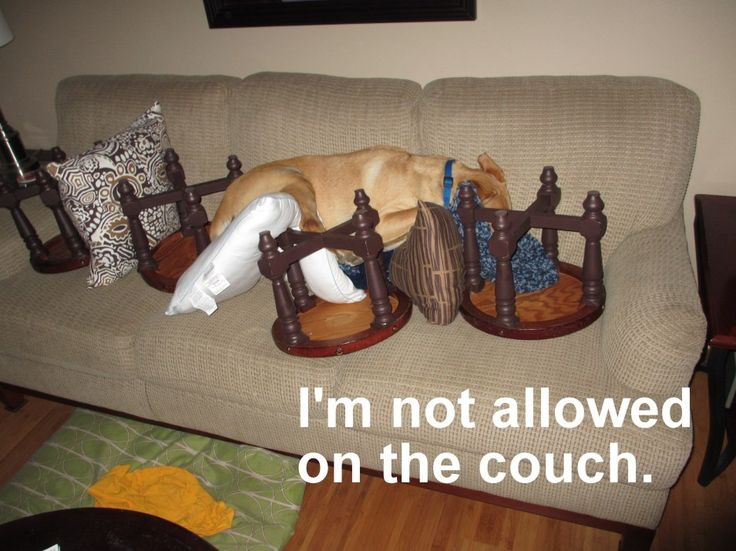 Funny Couches 9 best dogs on couches images on pinterest | funny dogs, animals