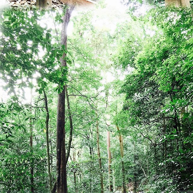 【bellamarinda】さんのInstagramをピンしています。 《010117.07 期待每个月 . . . 🤳🏻#bmgraphy #photography #BukitTimah #nature #naturephotography  #forest #jungle #mothernature  #gogreen #hutan #森林》