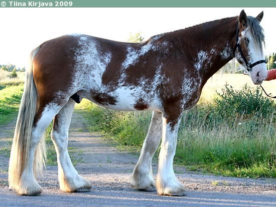 paint clydesdale - photo #37