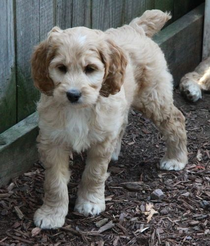 Cockapoo Puppies For Sale  Cute Puppies  Pinterest -7010