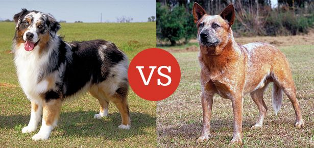 What's the Difference Between the Australian Shepherd and the Australian Cattle Dog? - See more at: http://moderndogmagazine.com/articles/whats-difference-between-australian-shepherd-and-australian-cattle-dog/52830#sthash.vZ2k6pZ4.dpuf