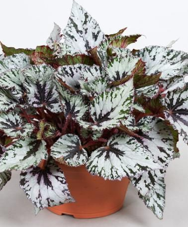 469 Best Images About Beautiful Begonia On Pinterest
