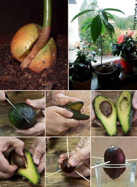 how to grow an avocado seed at home