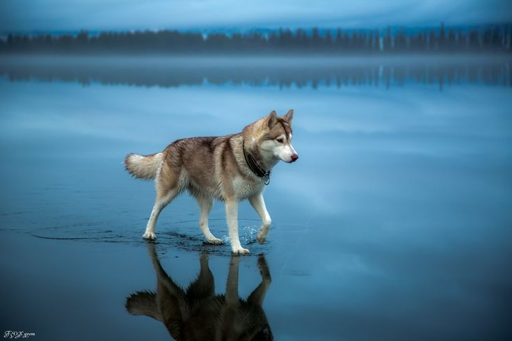 Fox Grom- amazing photography. Husky on a frozen lake covered with rain.