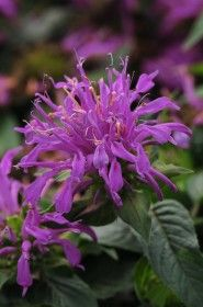Balmy™ Lilac Bee Balm – Sheridan Nurseries