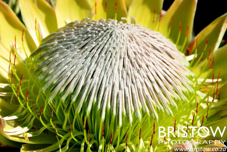 Protea, photographed by Bristow Photography. www.bristow.co.za