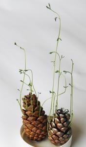 Faire un expérience et réaliser une joilie présentation florale. Cette expérience permet d'observer la germination de graines de lentille, et de découvrir la beauté et la magie de la nature