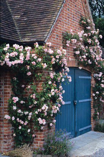 Rambling Rose 'Albertine'