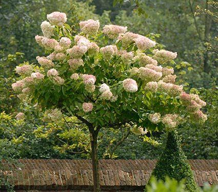 Hydrangea paniculata Grandiflora Tree Form - White Flower Farm