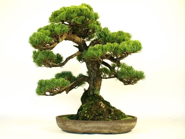 """""""Moyo-gi"""" is words to express the form of the Bonsai. """"Moyo-gi"""" is the form that is the most popular in a Bonsai. $550."""