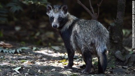 We can't get enough of Tanu the tanuki, a species that's also called a raccoon dog.