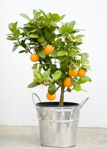 17 Best Ideas About Orange Trees On Pinterest Seville