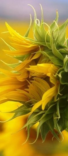 Beautiful Sunflower unfurling its petals. #Summer #Flower #Inspiration