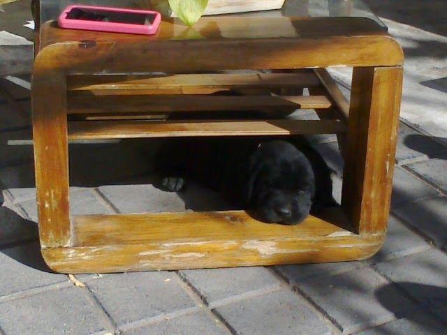cachorro labrador durmiendo al sol