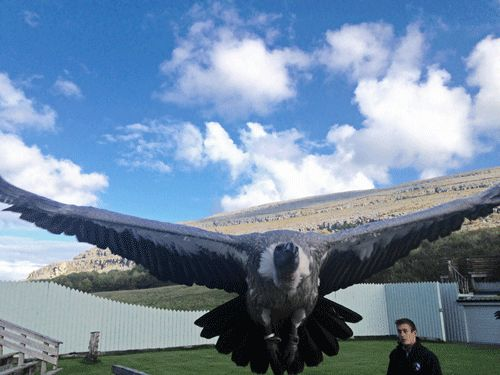 The Burren Birds of Prey at Ailwee Caves has been entertaining visitors with dynamic flying displays set against the dramatic Burren Landscape since 2008. Picture by tour driver/guide Daithi Rainsford.