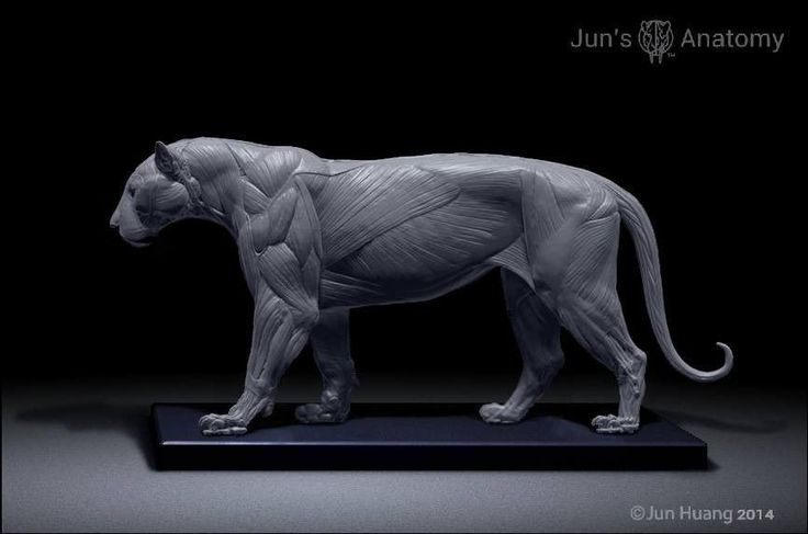 Tiger Anatomy model 1/6th scale - flesh & superficial muscle #MuscleAnatomy