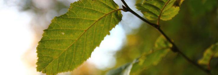 Plant Ident - Carpinus betulus