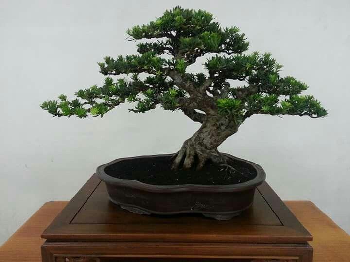 Tree: Podocarpus. Picture of Lissa on Indonesian Bonsai Society (PPBI) at Facebook.