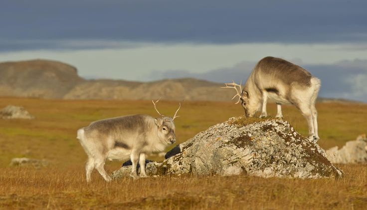 Svalbard Reindeer by Ken Watkins - Photo 53024124 - 500px