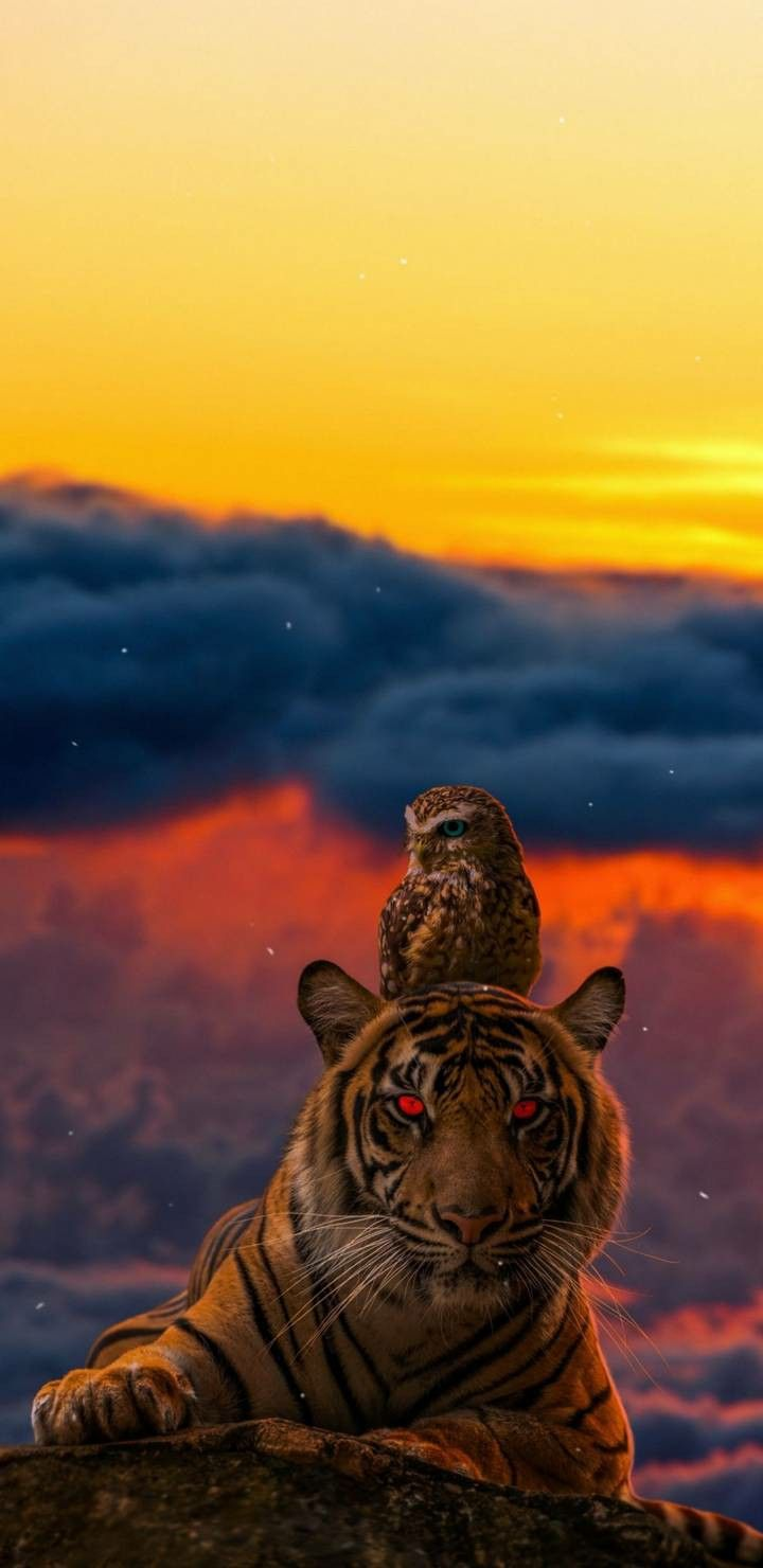 4k Ultra Hd Tiger Wallpapers For Android And Iphone Wallpaper Downloads Wallpaper Tiger Wallpaper