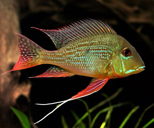 geophagus - Yahoo Search Results