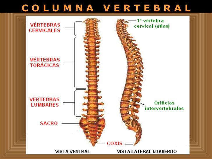 Clasificación de las vertebras.