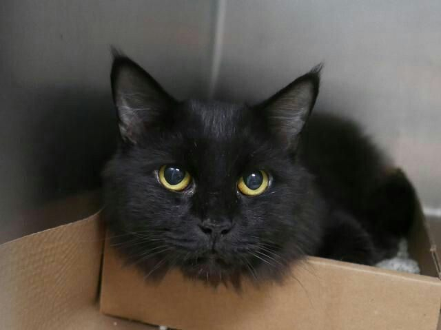 ALEXIS - 8047 aka A1126185 - - Brooklyn  *** TO BE DESTROYED 10/10/17 *** Alexis and Neo were brought into the shelter when owner was hospitalized.  They both now need new homes. Please adopt this lovely girl. -  Click for info & Current Status: http://nyccats.urgentpodr.org/alexis-8047-aka-a1126185/