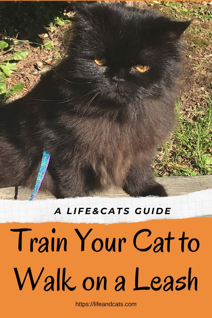 Go Walking Leash Training A Cat Life Cats Cat Training Cats Cat Training Tricks