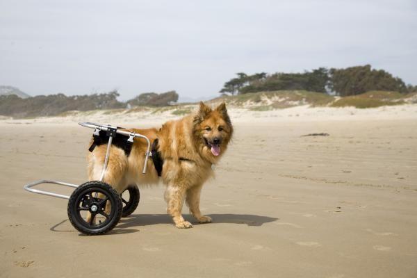 Cuidados de un perro con displasia de cadera