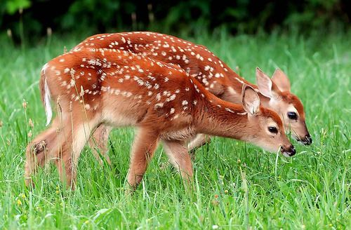 Twin Fawns by Terry Prather