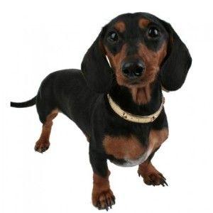 Collar Antipulgas: Comprar o no un collar comercial antipulgas para mi perro? Muchos son los casos en los que al usar collares antipulgas los perros sufren de intoxicación por causa de los fuertes químicos, se pueden usar en perros que tengan más de 3 meses de edad, pero nunca en hembras gestantes. Te recomendamos que antes de hacer el gasto de un collar antipulgas consultes a tu veterinario para que te aconseje que tratamiento debes usar con tu mascota. Visítanos…