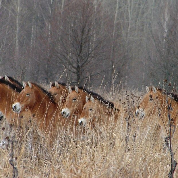 The Chernobyl exclusion zone is teeming with wildlife, with the area more abundant now than before the nuclear disaster