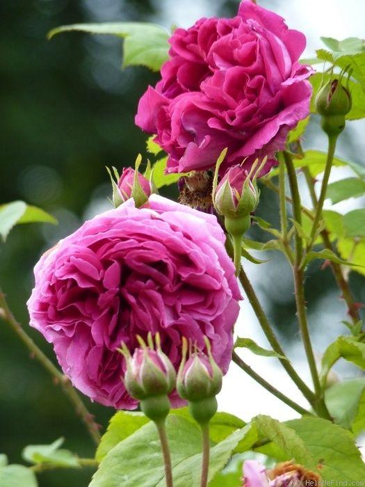 '~Leopold Ritter' | Hybrid Multiflora Climbing Rose. Bred by Rudolf Geschwind (Austria-Hungary (former), circa 1900).