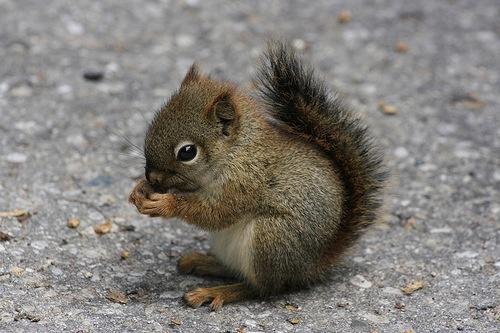 <3: So Cute, Pet, Baby Squirrels, Babysquirrel, Adorable, Things, Baby Animals,  Sciurus Niger,  Eastern Foxes Squirrels