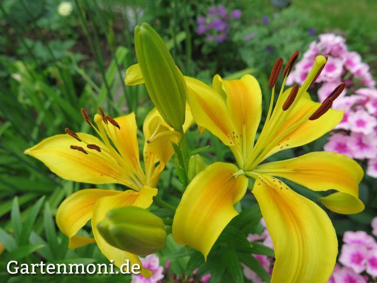 Lilien in vielen Farben, pflanzen, pflegen und vermehren