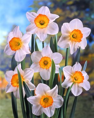 Narcissus 'Flower Record' - Large Cup Daffodil
