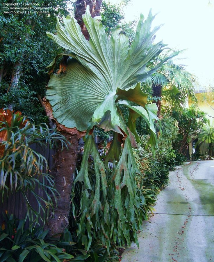 Full size picture of Staghorn Fern (Platycerium superbum)