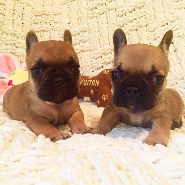 teacup french bulldog price 1000 ideas about teacup french bulldogs on pinterest 8259