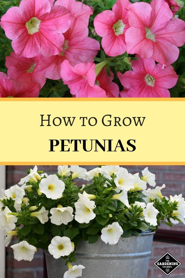 How To Grow Petunias Petunias Growing Flowers Gardening Tips