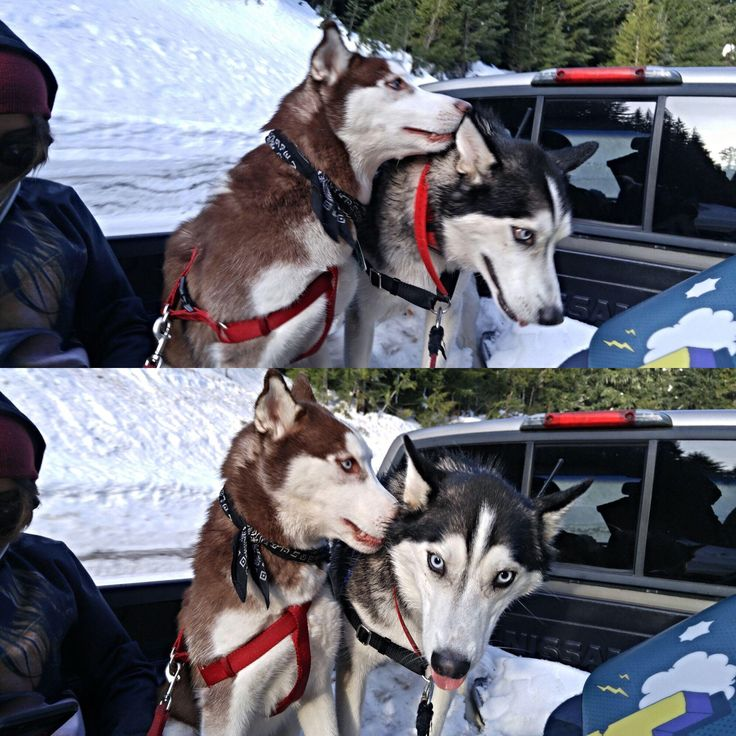 Snowboarding and Husky dogs at Timberline