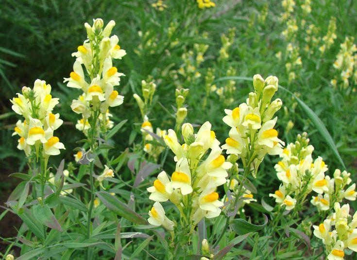 Изображение растения Linaria acutiloba.