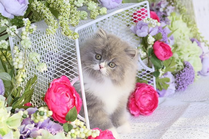 Blue & White Bi-Color Persian Kittens (Past Kittens) On this page you will see some of our past Blue & White Persian kittens.
