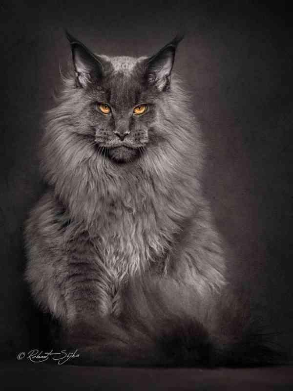 まるでライオン 世界最大のイエネコ メインクーン の凛々しい姿を収めた写真が話題に 画像12枚 ペット日和 メインクーン ペット 美しい猫