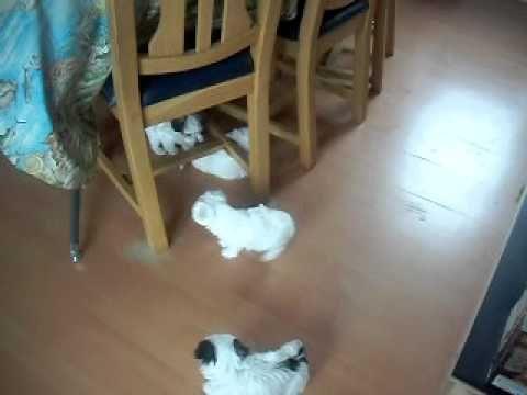 7 honden in huis. Sandy,Saartje,Angie en 4 pups. Twee mannetjes en twee ...