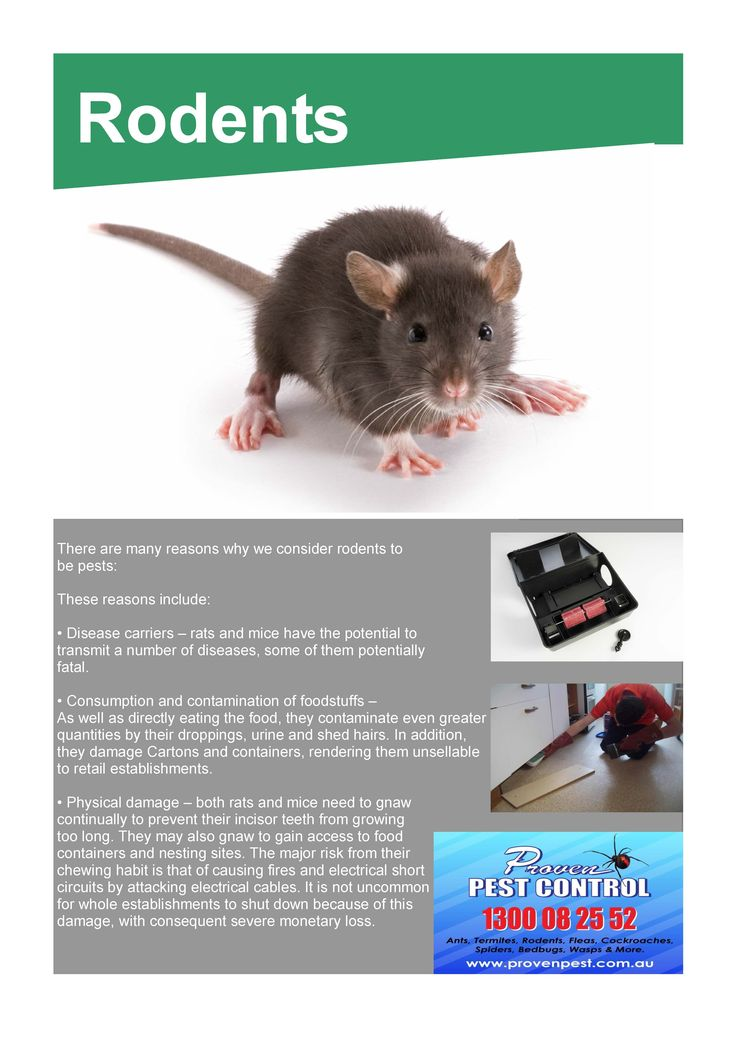 Pest Control Rats and Mice in Dapto