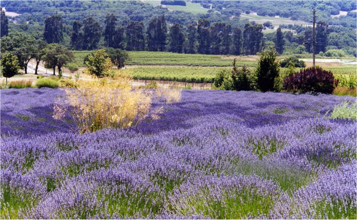 Lavender field forever!   I want this in my front yard and all 19 acres of my property... lavender everywhere!