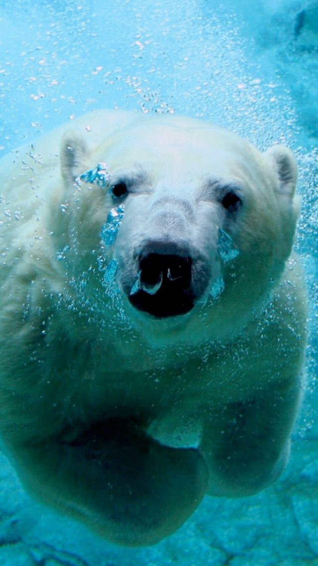 Polar Bear IPhone 5 Wallpaper