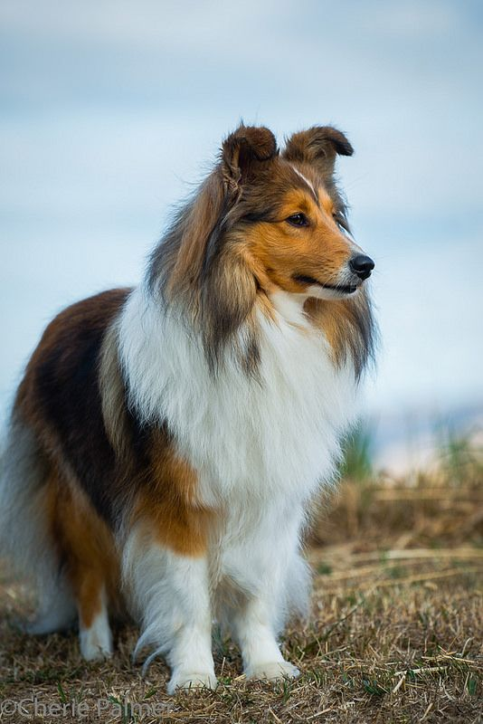 "Aw! My childhood dog of nearly 15 years. Shetland Sheepdog ""Sheltie"". They are the best!"