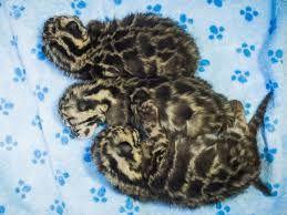 Risultati immagini per clouded leopard