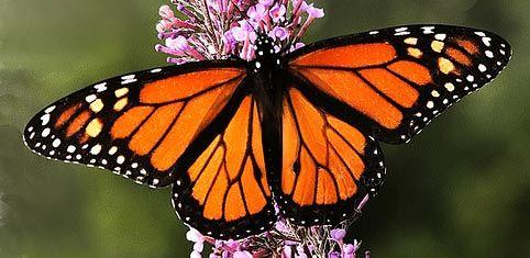 Uso de pesticidas está provocando la muerte masiva de mariposas monarca